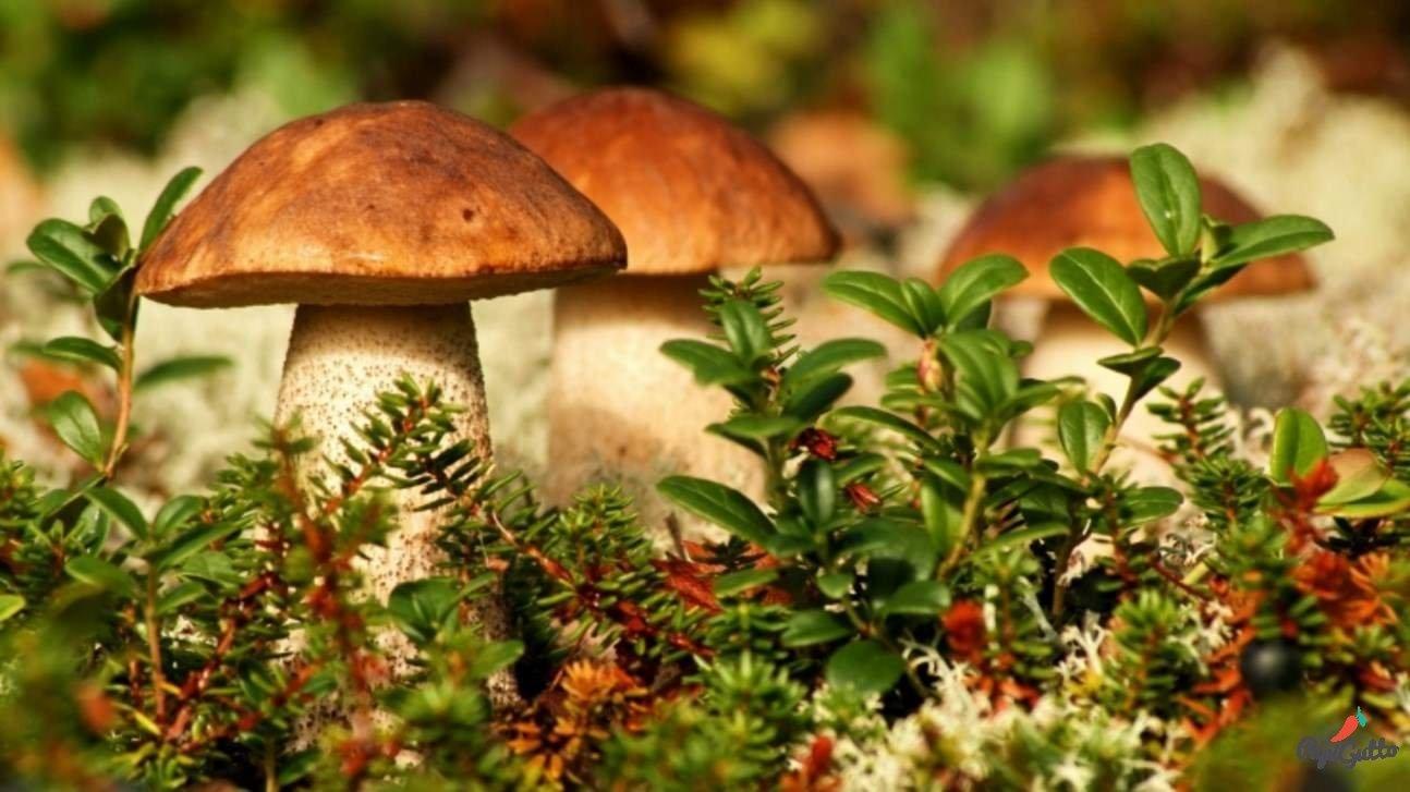 Белые грибы (боровики) - 02